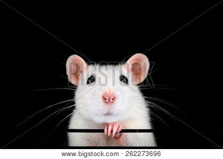 Cute White Pet Rat Portrait With Black Background. Front On Symmetrical View Of Face With Paw Under
