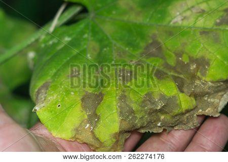 Leaf Disease Of Cucumber In The Garden, The Plant Dies Of Disease