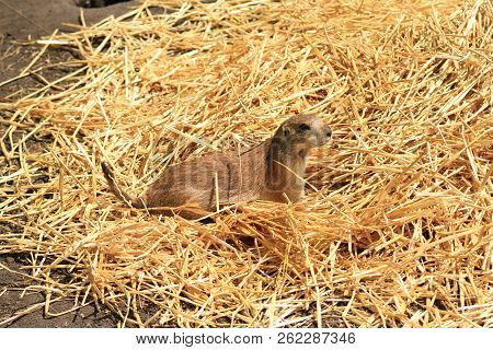 A Prairie Dog Sitting On A Pile Of Straw.