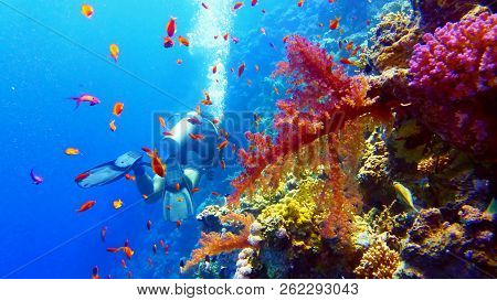 Scuba Diver Near Beautiful Colorful Coral Reef