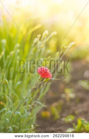 Flower At Sunrise - Carnation. Spring Or Summer Floral Background. Pink Rose Flower Against The Suns