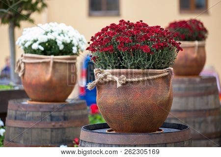 Large Flower Pots With White And Burgundy Chrysanthemums. Sale Of Flowers
