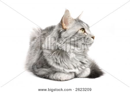 maine coon cat isolated on white background poster