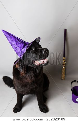 Purebred black newfoundland puppy with a witch purple hat against a seemless background poster