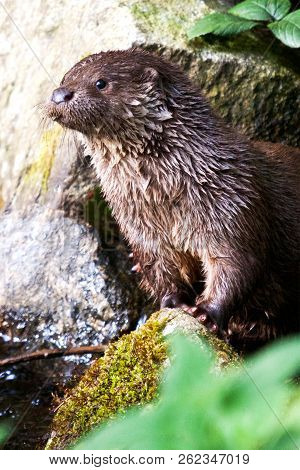 Wild River Otter In The Brook, Bohemian Forest, Czech Republic