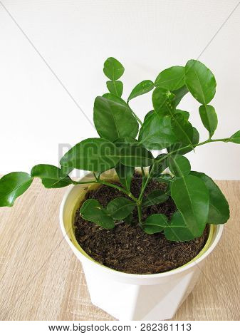 Kaffir Lime With Green Leaves In Flower Pot