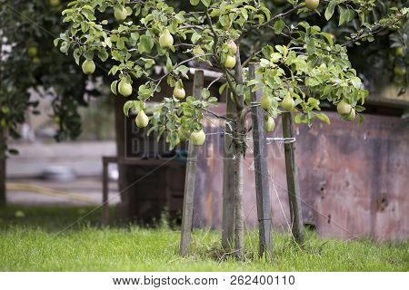 Close-up Bunch Of Beautiful Green Pears Hanging Ripening On Tree Branch With Green Leaves Lit By Bri