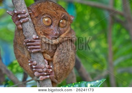 Tarsier with eyes wide open