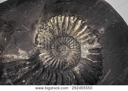 Stone Ammonite Or Shalagram-sewed With Fossil Shells.