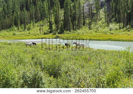 Horses Graze On The River Bank. The Valley Of The Shavla River Between The Shavlinsky Lakes And The