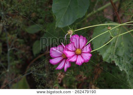 Beautiful Garden Flowers /cosmeya - Beautiful Garden Flowers