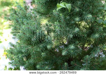 Coniferous Tree / Coniferous Tree In The Forest