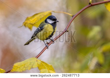 Garden Bird Great Tit (parus Major) On Thin Branch With Yellow Autumn Leaves In Warm Colors