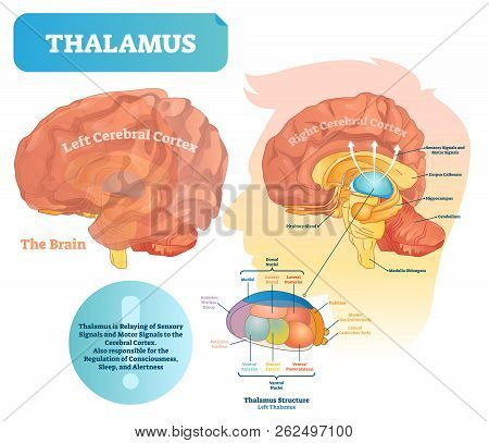 Thalamus Vector Illustration. Labeled Medical Diagram With Brain Structure. Educational Scheme With