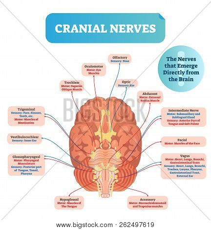Cranial Nerves Vector Illustration. Labeled Diagram With Brain Sections And Its Functions With Sense