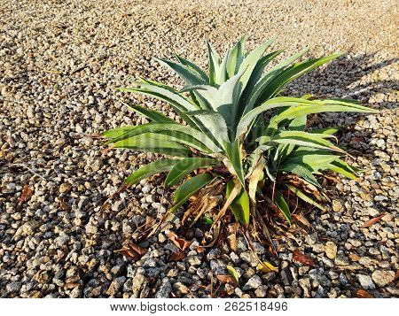 Desert Landscaping With Native Drought Tolerant Green Agave Succulent