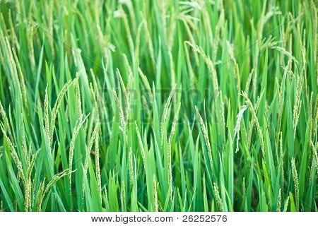 Green ear of rice. Paddy fields. Vietnam