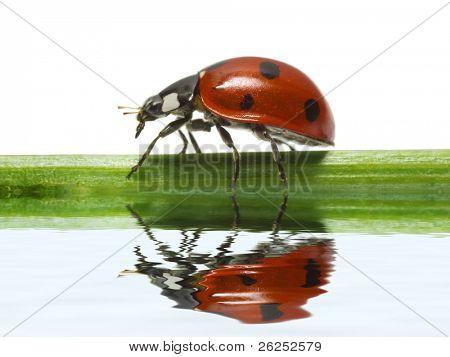 Feflection of Ladybird on white background