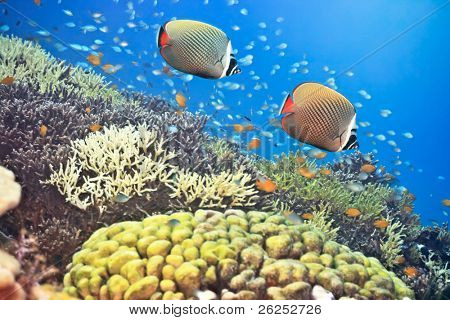 Underwater landscape with couple of Red-tailed Butterflyfishes (Chaetodon collare) poster
