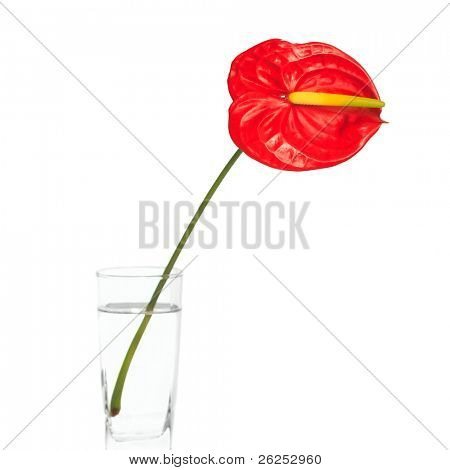 Red Anthurium flower in vase isolated on white