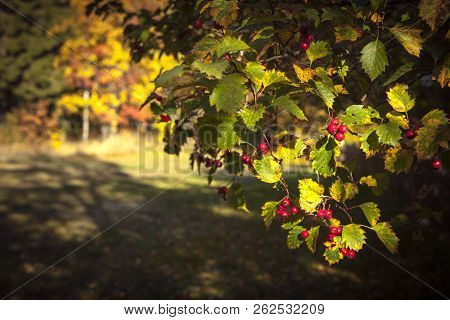 Closeup Of Beautiful, Colorful Autumn Leaves. Red Berries On A Bush, Twig.