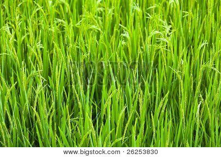 Green ear of rice closeup. Paddy fields.