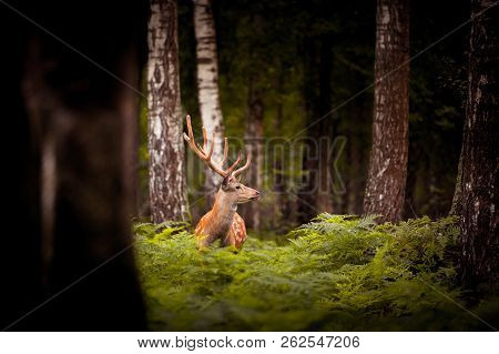 Whitetail Deer Buck Standing In A Russian Woods