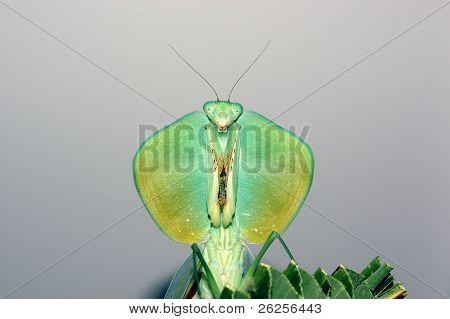 Shield Mantis
