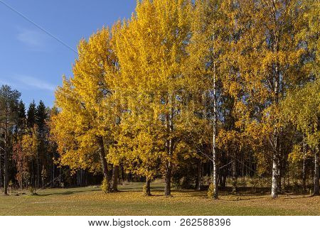 Beautiful, Colorful Trees And Meadows In A Park During The Autumn. Mostly Birches, Rowan And Norway