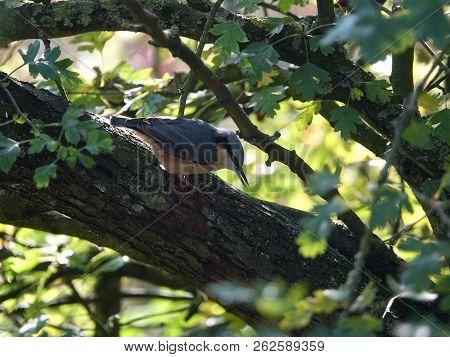 Nuthatch (sitta Europaea) In Woodland During Autumn