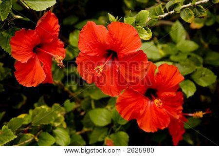 Red Hibiscus Flower Horizontal