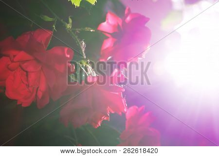 Pink Rose On A Black Background Is Contrasted By The Rays Of The Sun