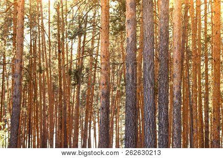 Summer Dense Pine Forest. Sunlight Through The Trees. Amazing Woodland Landscape. Heat Weather.