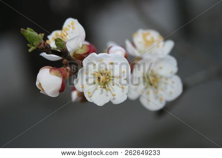 Trustingly open, gentle and solemn are the flowers of a paradise apple tree.