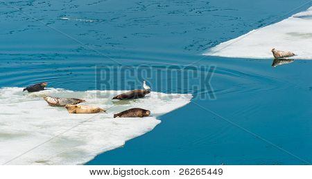 Larga Seals resting on floating ice near the russian Vladivostok