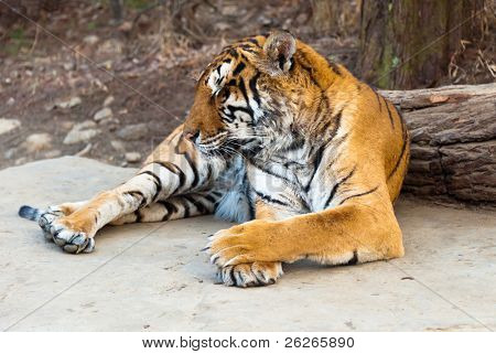 Rare Siberian ussur Amur tiger Seoul grand park zoo
