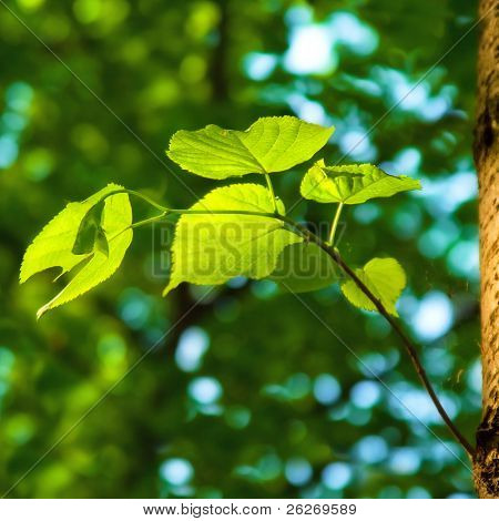 spring background with green leaves of lime tree