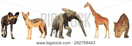African wildlife isolated. Wild Dog, Jackal, Elephant, Giraffe and Leopard on white background