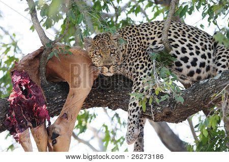 Leoparden in einem Baum