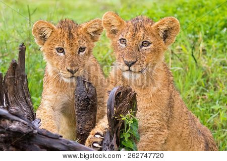Two young Lion Cubs playing scratching stump in the rain at Ngorongoro Crater, Arusha Region, Tanzania, East Africa