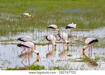 Flock of African wading stork, Yellow billed stork (Wood stork, Wood ibis) foraging for fish in water. Leaving bills partially open, wait to snap up their preys at Lake Manyara, Tanzania, East Africa poster