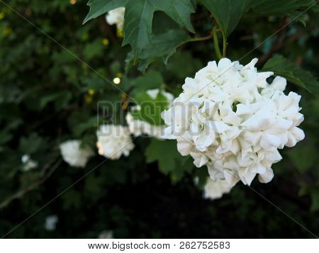 Buldenezh Bush - White Spheric Flower With Contrast Dark Leaves, Atmospheric Closeup Photo