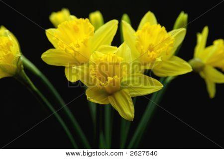 Yellow Daffodiles