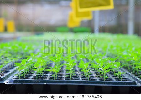 Growing Green Plant Seedlings In Industrial Bedding Agricultural Plant Nursery Greenhouse, Plantatio