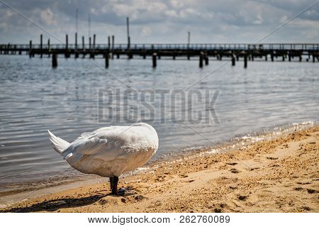 A Swan Grooms Itself At Colonial Beach, Va While Hiding Its Head.