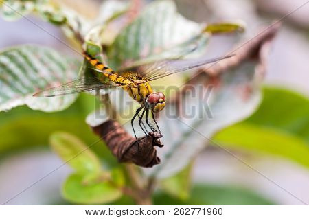 Yellow Dragonfly Sitting On The Dry Leaf Of A Plant