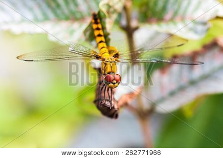 Yellow Colored Dragonfly Resting On A Dry Leaf In Nature