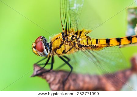 Closeup Side View Of Green Dragonfly  Resting On A Dry Leaf