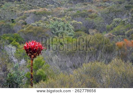Australian Native Giant Gymea Lily Flower Spike, Doryanthes Excelsa, Surrounded By Woodland At Watta