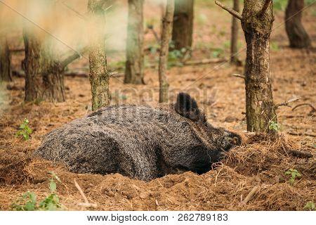 Belarus. Wild Boar Or Sus Scrofa, Also Known As The Wild Swine, Eurasian Wild Pig Resting Sleeping I